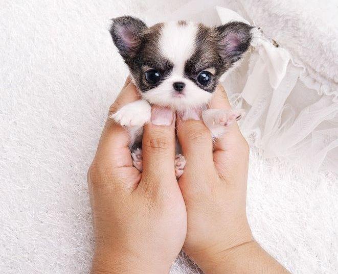 Harga anjing Chihuahua. Harga jual beli anakan Chihuahua di Indonesia