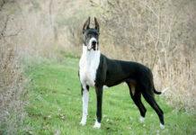 Karakteristik, kepribadian anjing Great Dane. Sejarah anjing Great Dane