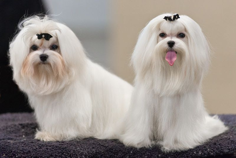 Karakteristik anjing Maltese. Bagaimana cara menumbuhkan Maltese?