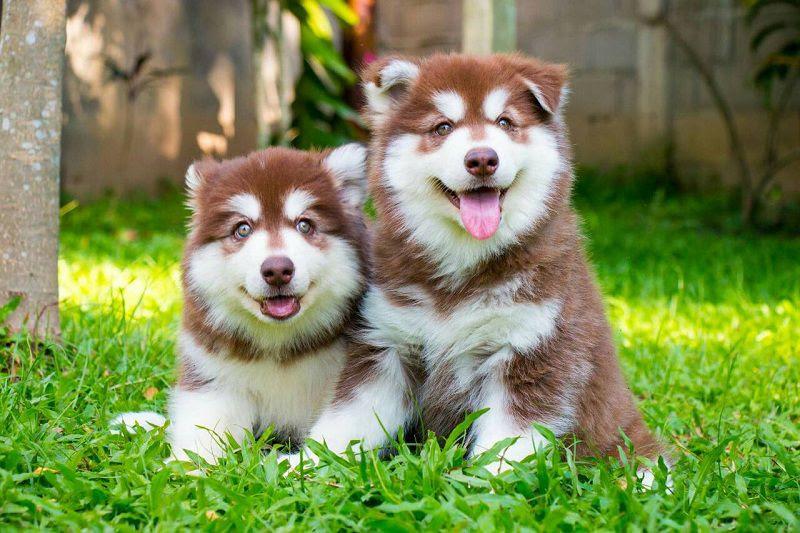 Harga Alaskan Malamute. Harga jual beli anak anjing Alaskan Malamute di Indonesia