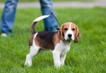 Harga anjing Beagle murni. Harga jual-beli anjing Beagle di Indonesia