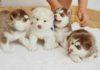 Harga anjing Husky. Harga Jual beli anjing Siberian Husky di Indonesia
