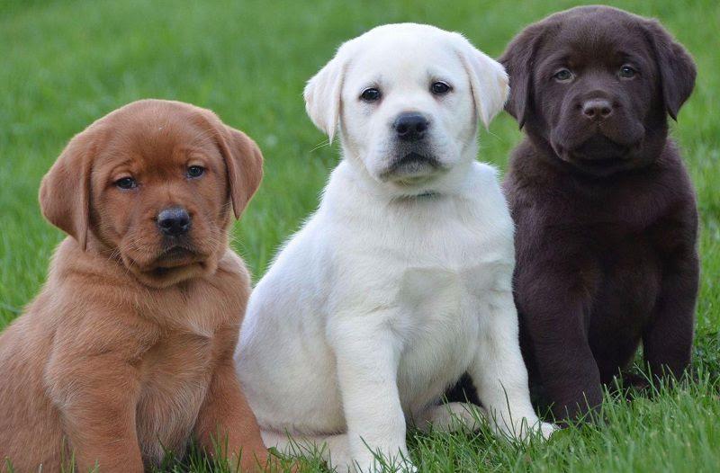 Harga anjing Labrador Retriever. Harga jual beli anakan Labrador di Indo