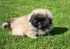 Karakteristik anjing Peking murni. Cara membesarkan anjing Peking