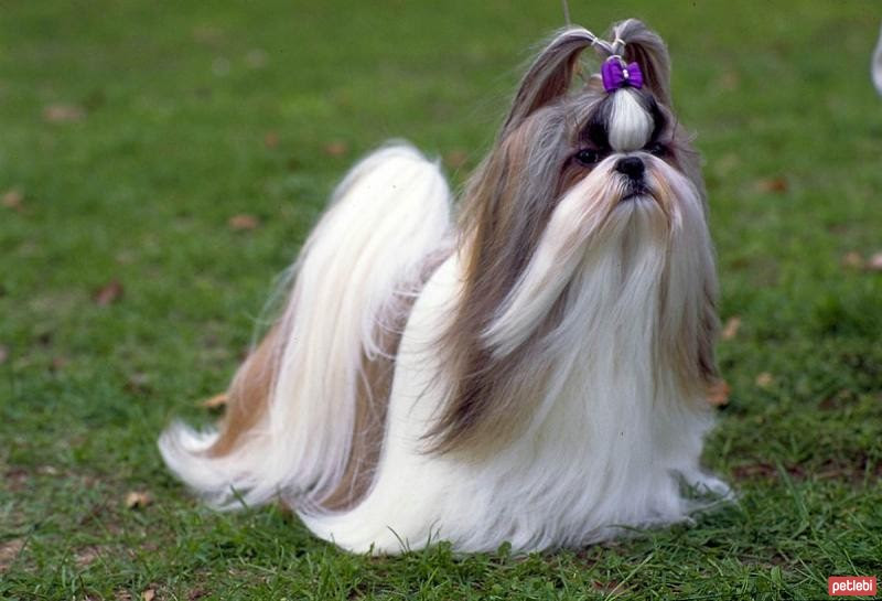 Harga anjing Shih Tzu di Indonesia. Karakteristik dan kepribadian Shih Tzu