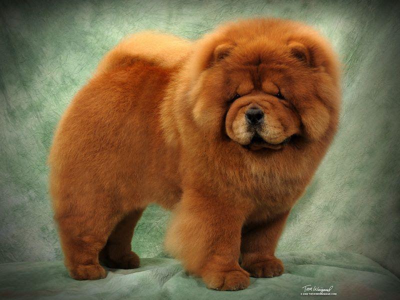 Harga anjing Chow Chow. Harga jual beli Chow Chow di Indonesia