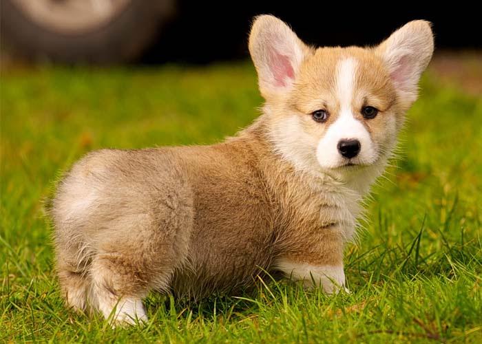 Harga Anjing Corgi. Harga jual beli anjing Welsh Corgi di Indonesia