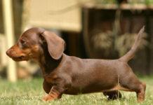 Harga anjing Tekel (Dachshund). Harga jual-beli anak anjing Tekel murni di Indonesia