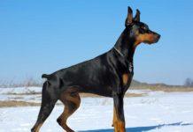 Harga anjing Doberman Pinscher. Harga jual beli anak anjing Doberman